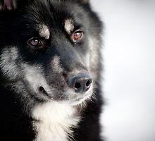 husky by marusya1