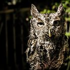 Boudreaut the Eastern Screech Owl by David Orr