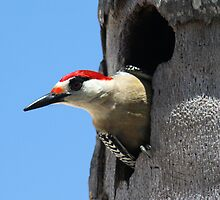 Woodpecker a Peaking by vette