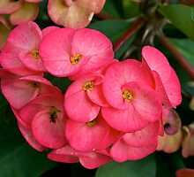 My wife's favourite Begonia, Berwick, Australia. by johnrf