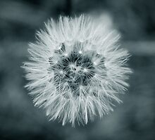 Dandelion by martinbenito