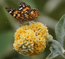 Butterfly Bush Calling by BronReid
