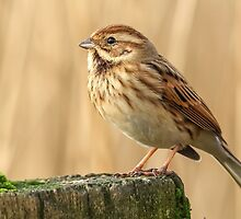Female Reed Bunting by Mark Hughes