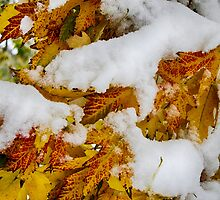Red Autumn Maple Leaves With Fresh Fallen Snow by Bo Insogna