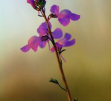 Blue Toadflax by T.J. Martin