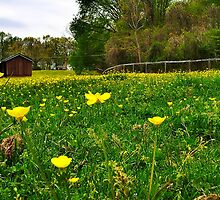 Buttercup field by DonnaHancock