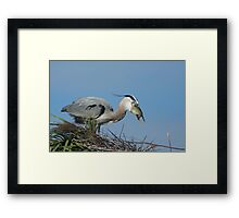 A Great Blue Heron eating lunch in his nest Framed Print