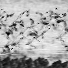 B&W Avocets by Neil Bygrave (NATURELENS)