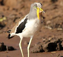 White-crowned Plover by Jennifer Sumpton