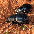 Tok Tokkie Beetles by Jennifer Sumpton