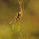 Golden Orb Spider by Jennifer Sumpton