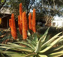 Aloe ferox beauty by Maree  Clarkson
