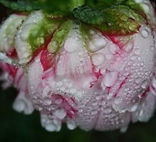 Water On Peony  by Sarah  Gregg