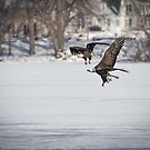 A Pair Of American Bald Eagles by Thomas Young