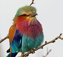 Another Beautiful Lilac Breasted Roller by jozi1