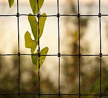 Through the Fence by Carol Bailey White