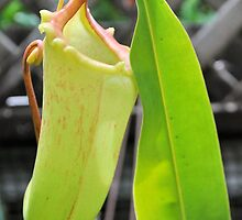 YELLOW TRUMPET PITCHER PLANT by Margaret Stevens