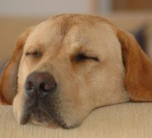 Sleeping Golden Labrador by Jopugh