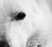 White Shepherd by Alan Harman