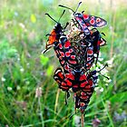 Six-Spot Burnet Moths (Zygaena filipendulae) 2 by Dennis Melling