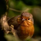 Cheeky Robin by Martyn Franklin