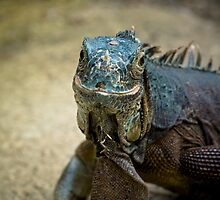 Handsome Iguana by Martyn Franklin