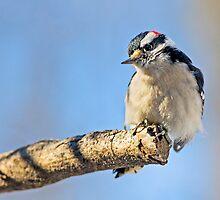 Male Downy Woodpecker on Limb by Kenneth Keifer