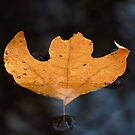 Leaf on Water 7 by ChuckBuckner