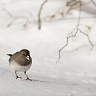 Dark-eyed Junco on Snow by Kenneth Keifer