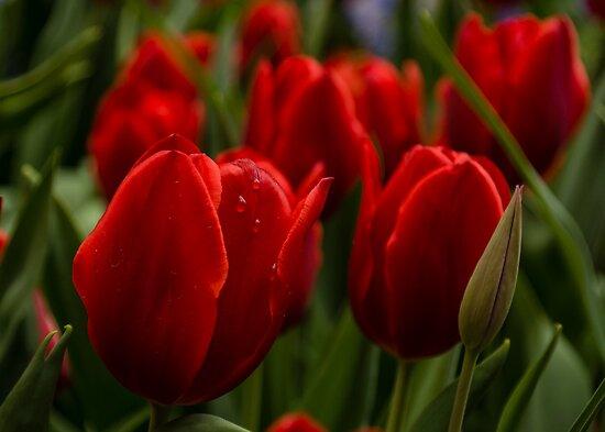 Vivid Red Tulip Garden by Georgia Mizuleva