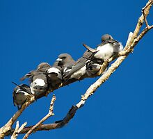 Woodswallow Row by byronbackyard