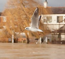 Sea gull by yampy