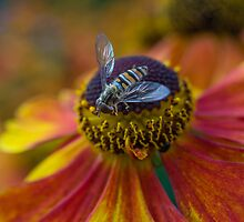 Hoverfly on red and yellow flower by Brooxi