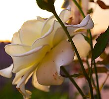Golden Hour Rose by Brandon Eligio