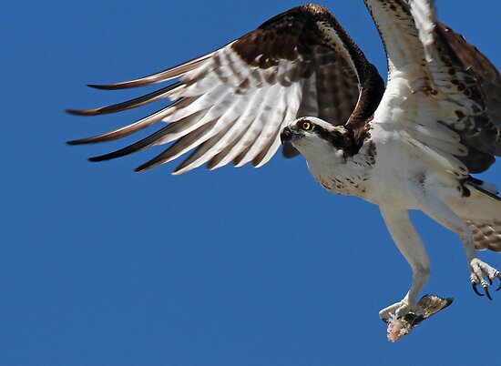 An Osprey in flight by jozi1