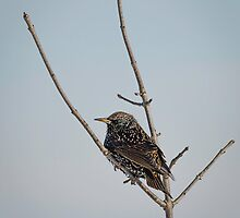 Isolated Winter Starling by Thomas Young