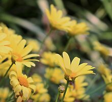 Yellow Daisies by kaitlyns-photos