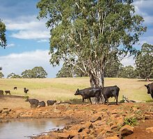Coolah Tops Cows by Candice84