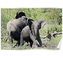 O NO, THIS IS MY SPACE! THE AFRICAN ELEPHANT – Loxodonta Africana - AFRIKA OLIFANT Poster