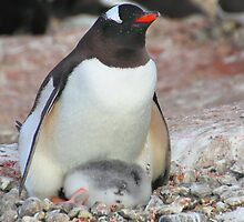 Gentoo Penguin With Chick by Carole-Anne