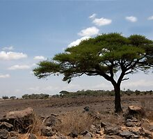 Lonely Acacia by phil decocco