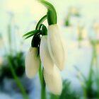 Snowdrops by Elena J