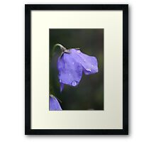 campanula after the rain Framed Print