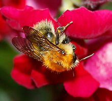 Bumble Bee on Antirrhinum by AnnDixon