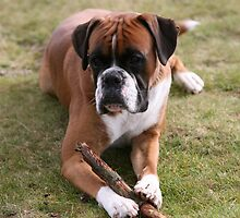 boxer dog by markspics