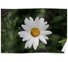 Springtime Daisy Poster