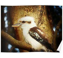 Kookaburra-Kingfisher - Halls'Gap in The Grampians National Park Vic.* Poster
