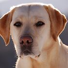 Portrait of A Golden Labrador Retriever by taiche