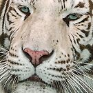 White Tiger Up Close by Mark Hughes