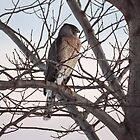 Cooper's Hawk At Sunset Profile by Deb Fedeler